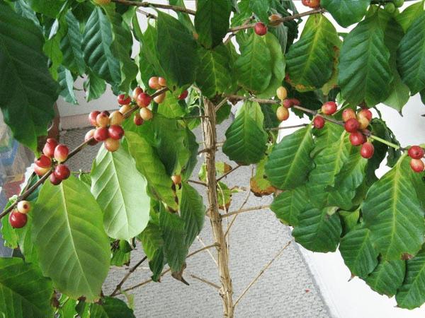 Кофейное дерево вырастить в домашних условиях