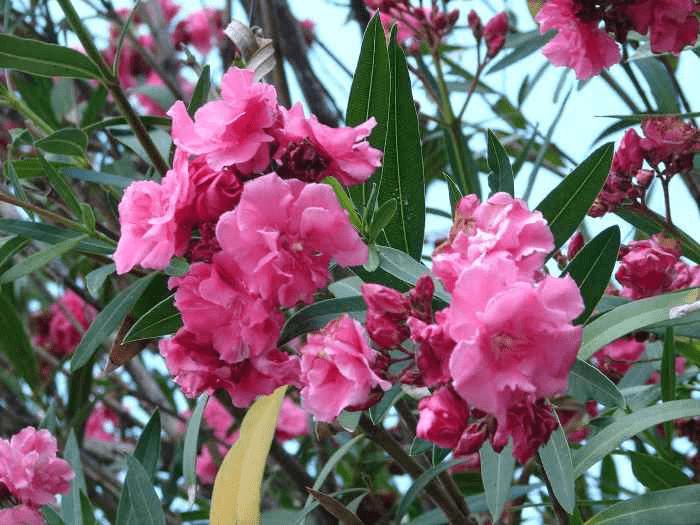 Олеандр цветок ядовитый