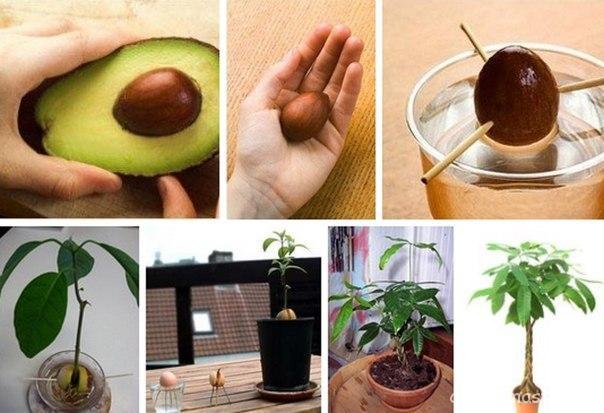 Условия для выращивания авокадо в домашних условиях
