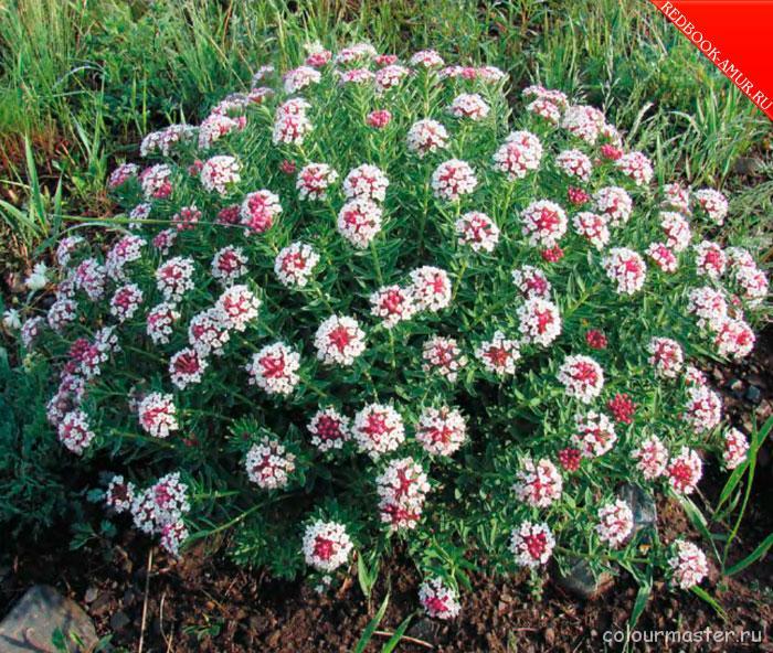 Фото цветов забайкальского края